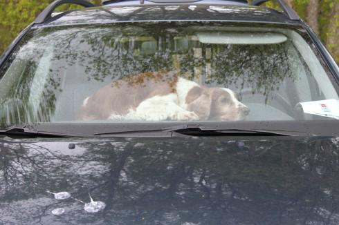 Lisbeths ena hund placerade sig med utsikt över planen